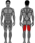 Muscle groups targeted by MedX Leg Curl
