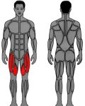 Muscle groups targeted by MedX Leg Extension