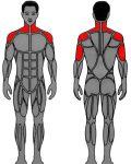 Muscle groups targeted by MedX Overhead Press